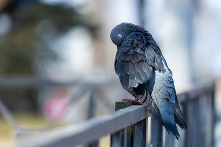 Pigeon Dove in the city streets Urban Birds Flying Sitting Wildlife Feathers Wings. Zdjęcie Seryjne