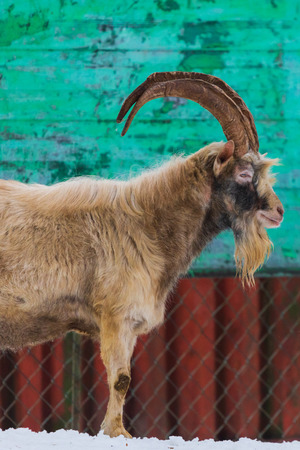 Goat with horns and beard in the village.