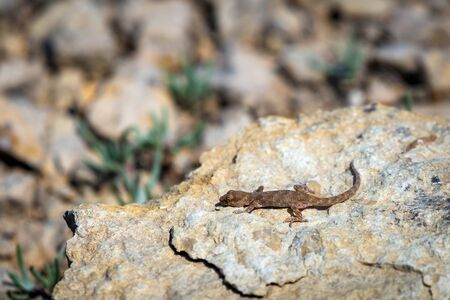 Even-fingered gecko genus Alcophyllex or squeaky gecko in wild nature.