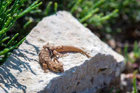 Even-fingered gecko genus Alcophyllex or squeaky gecko in wild nature.