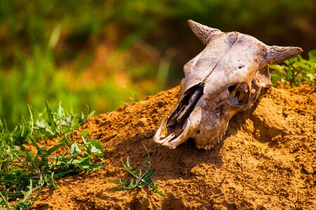 Close uo old cow skull lies on ground