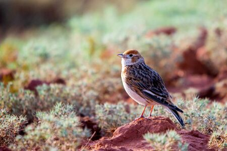 White-winged Lark or Alauda leucoptera sits on ground.