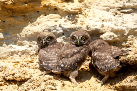 Three chicks of little owl near nest on ground. Imagens