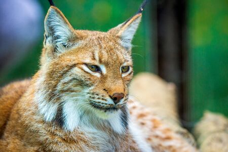 Portrait of Eurasian lynx. Portrait of wild mammal.