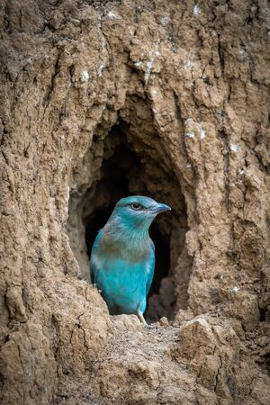 The European Roller bird chick prepares to fly out of the hole-nest Stok Fotoğraf