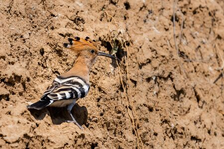 Eurasian Hoopoe or Common Hoopoe or Upupa epops the beautiful brown bird with spiky hair, beautiful crested bird. Stock Photo