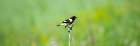 Common Stonechat or Saxicola torquata on branch in habitat. 免版税图像 - 127928542