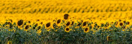 Fields with an infinite sunflower. Agricultural field. Low depth focus