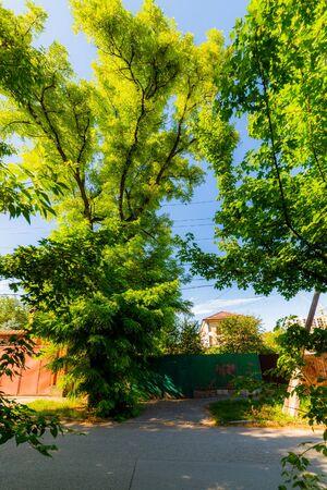 Beautiful big tree acacia in the street city. Archivio Fotografico