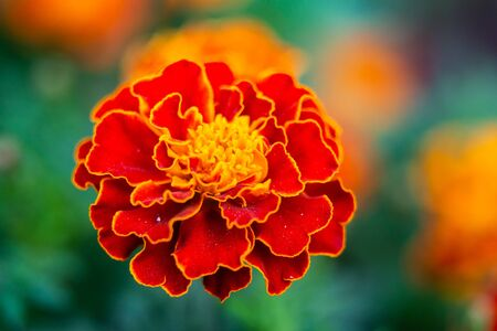 Close up of beautiful Marigold flower or Tagetes erecta, Mexican, Aztec or African marigold in the garden. Macro of marigold in flower bed sunny day. Magrigold background or tagetes card.