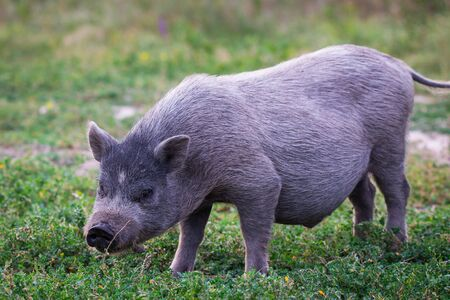 Vietnamese Pot-bellied pig on a grass meadow Banco de Imagens