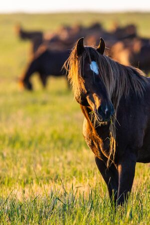 Wild horses grazing in a meadow at sunrise. Concept Freedom in nature