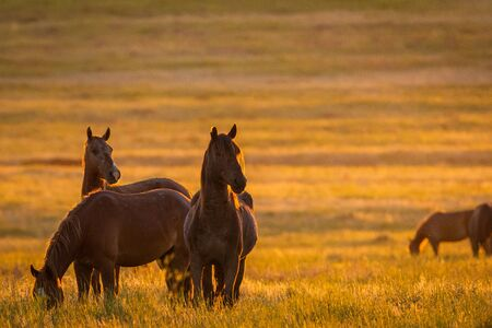 Wild horse in wildlife on golden sunset. 版權商用圖片 - 128257600