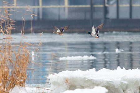 Mallard Ducks Flying Over the Autumn Countryside.