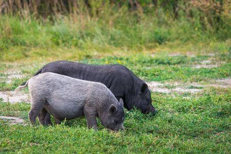 Vietnamese Pot-bellied pig on a grass meadow Zdjęcie Seryjne