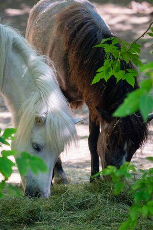 White pony horse or Equus caballus mammal animal. Zdjęcie Seryjne