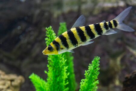 A banded Leporinus against a background of bogwood and plants in aquarium