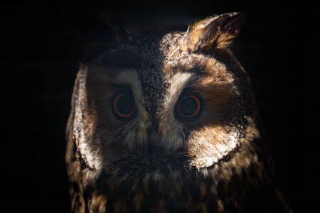Long-eared owl or Asio otus in cage.