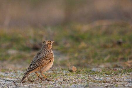 Crested lark or Galerida cristata standing on a ground. Zdjęcie Seryjne
