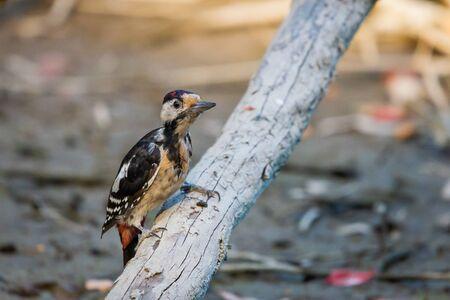 Syrian woodpecker or Dendrocopos syriacus close on branch.