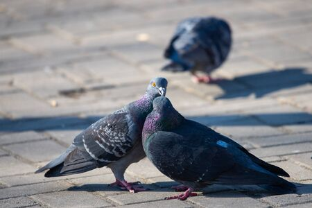 Couple of pigeons on the city street.