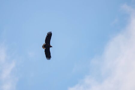 Silhouette Steppe eagle flying under the bright sun and cloudy sky in summer. Zdjęcie Seryjne