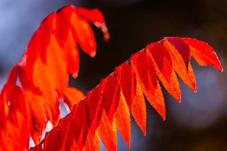 Red bright leaves in autumn on sunlight. Fall background Zdjęcie Seryjne