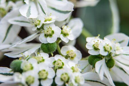 Euphorbia marginata flower macro shot in greenhouse.
