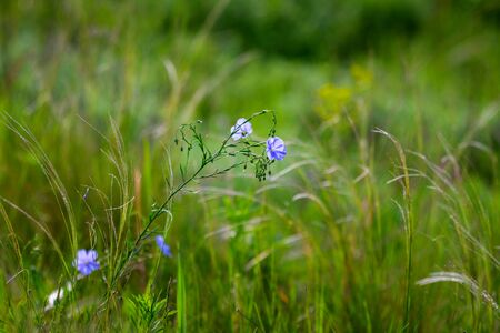 Bright delicate blue flower of ornamental flower of flax and its shoot against complex background. Flowers of decorative flax. Agricultural field of flax technical culture in stage of active flowering. Stock fotó
