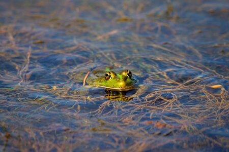 Marsh Frog in the water - Pelophylax ridibundus. Zdjęcie Seryjne
