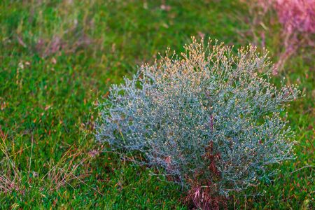 Green summer grass with bushes of dried weeds on the steppe. Zdjęcie Seryjne