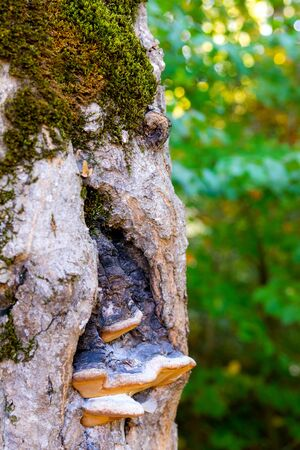 Chaga mushroom or Inonotus obliquus on the trunk of a tree on a background of green summer foliage