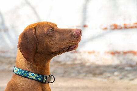 Hungarian Pointing Dog or Vizsla in outdoor in a park. Imagens