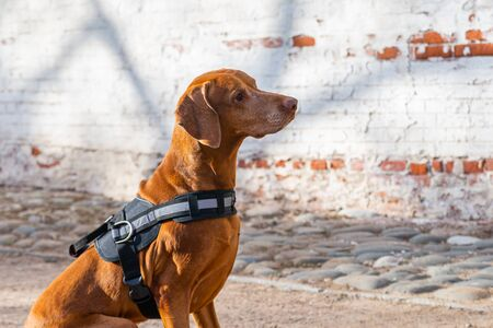 Hungarian Pointing Dog or Vizsla in outdoor in a park. Stock fotó