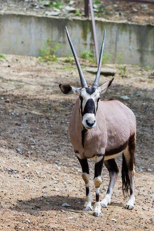 Gemsbok or gemsbok or Oryx gazella in zoo.