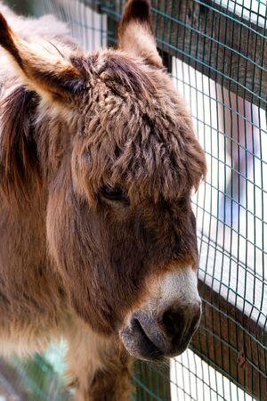 Portrait of a donkey, donkey head. Farm animal in paddock. Stock Photo
