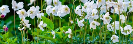 Anemone, blooming flower in garden, spring time.