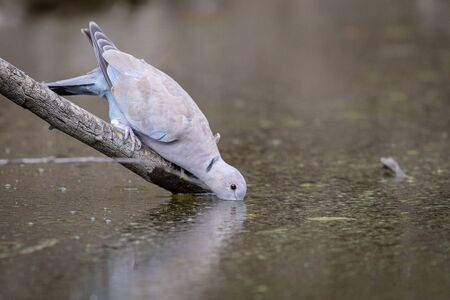 Collared dove or Streptopelia decaocto on branch drink dirty water.