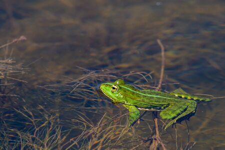 Marsh Frog in the water - Pelophylax ridibundus. Stock Photo