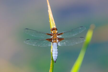 Dragonfly blue adult insect or Orthetrum cancellatum on a green background.