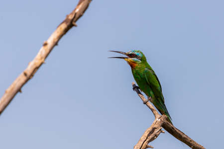 Close up of blue-cheeked bee-eater sitting on a branch of tree.