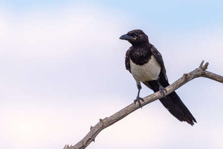 Magpie or pica pica perched on a tree branch on sky background.