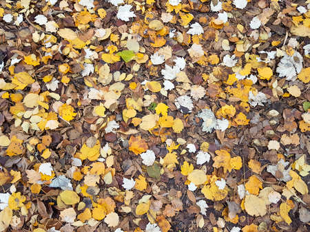 Autumn yellow colorful fallen leaves on ground in grass in park outdoor close up background texture as natural pattern