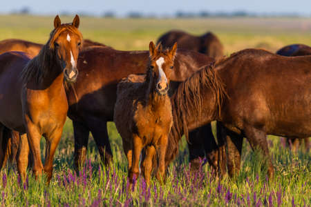 Wild horses grazing in a meadow at sunrise. Concept Freedom in nature Standard-Bild