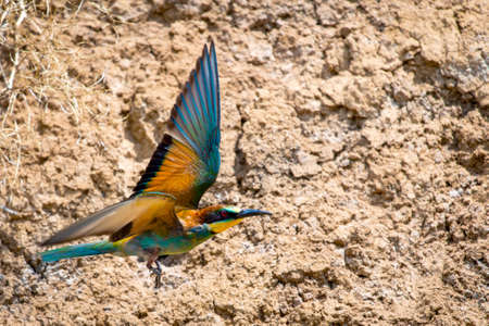 European Bee-eater or Merops apiaster on ground near hole nest.