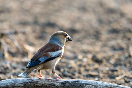A common hawfinch or Coccothraustes coccothraustes in habitat