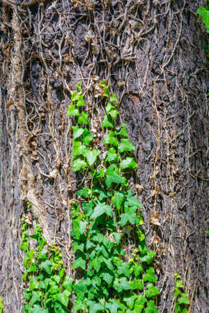 Ivy creeping over an old bark tree in garden
