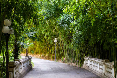Panorama bamboo forest or bamboo grove with bushes Standard-Bild