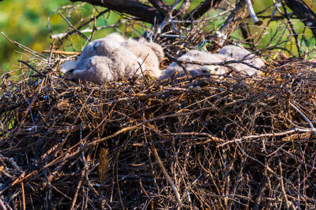 Nest of Steppe eagle or Aquila nipalensis with small nestlings. 免版税图像