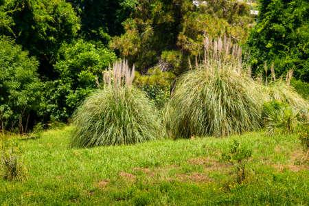 Pampas Grass or Cortaderia selloana or Cortaderia Cello or Cortaderia dioecious in natural decoration city park.